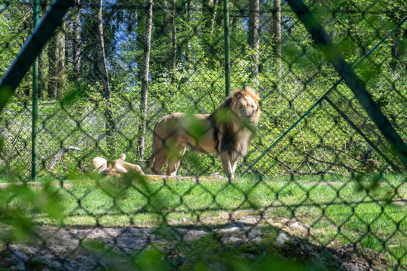 """Löwe """"Eisi"""" im Zoo Salzburg (c) STADTBEKANNT Zohmann"""